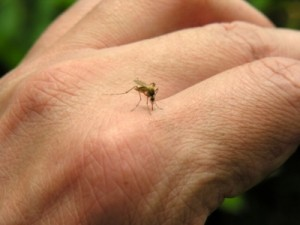 A mosquito lands on a hand. Experts say it's been a buggier-than-normal summer in many places around the U.S. because of a combination of drought, heavy rain and heat. (Photo courtesy of www.aaaai.org)