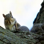 A gray squirrel itches its neck while starring down at the camera. According to the Minnesota Department of Natural Resources, gray squirrels may have white or brownish bellies. Black and albino squirrels are variations of the gray squirrel. (Meghan Vosbeek/TommieMedia)