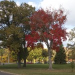 A brilliantly red tree contrasts with another's still-green branches near campus. (Grace Pastoor/TommieMedia)