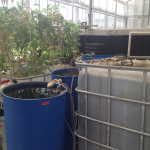 The 600 gallon tank (right) contains 12 tilapia. The water is filtered through the three blue barrels (middle) and flows to the plant base (left). (Molly Sigler/TommieMedia)